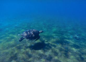 Green sea turtle in sea water. Cute sea turtle dives. Marine species in wild nature.