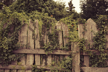 old wooden fence with creepers. abandoned garden