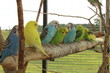 Parakeets resting on a tree