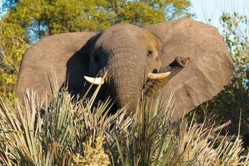 Surprised juvenile elephant