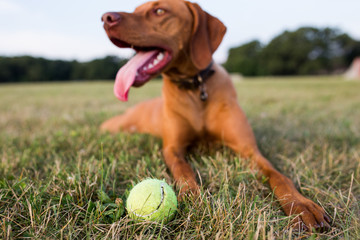 Dog lying on grass with tennis ball, close up