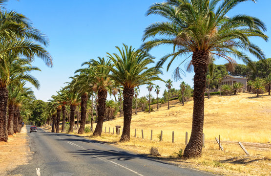 The famous palm trees of the Seppeltsfield Road in the Barossa Valley at the mausoleum of the Seppelt family - SA, Australia