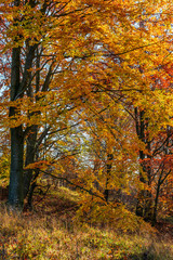 beautiful golden foliage on sunny day in forest. lovely autumnal background