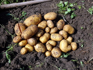 Potato harvesting, Fresh potatoes when harvested from organic farms, Potatoes and hoe in the garden,
