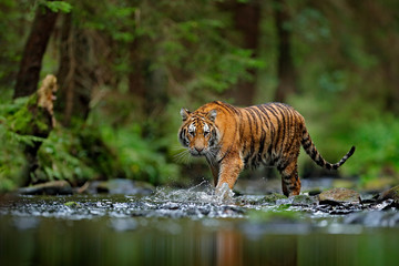 Fototapeten Tiger Amur tiger walking in river water. Danger animal, tajga, Russia. Animal in green forest stream. Grey stone, river droplet. Siberian tiger splash water. Tiger wildlife scene, wild cat, nature habitat.