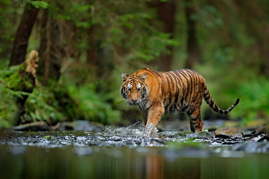 Amur tiger walking in river water. Danger animal, tajga, Russia. Animal in green forest stream. Grey stone, river droplet. Siberian tiger splash water. Tiger wildlife scene, wild cat, nature habitat.