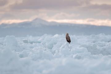 Winter scene with bird of prey. Big bird with snow. White-tailed eagle, Haliaeetus albicilla, Hokkaidó, Japan. Action wildlife scene with ice. Eagle in fly. Bird in nature sea habitat, snow with ice.