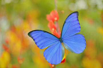 Blue butterfly Morpho didius, the giant blue morpho, sitting on on orange red flowers, Peru. Beautiful butterfly in the tropic forest. Insect in nature green vegetation habitat. Art of nature.