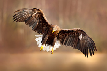 Wall Mural - Eagle fly above the lake surface. White-tailed Eagle, Haliaeetus albicilla, face flight, landing, bird of prey with forest in background. Animal in nature habitat, Sweden. Wildlife scene from nature.