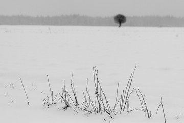 Black and white photo of dry plants in snow.