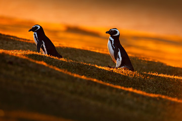 Evening light with penguins. Birds with orange sunset. Beautiful Magellan penguin with sun light. Penguin with evening light. Open penguin bill. Young with adult. Penguins in the nature. Antarctica