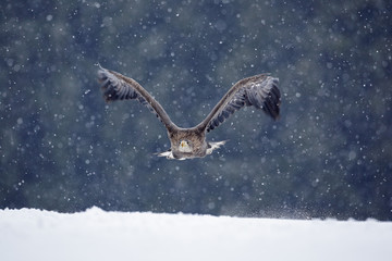 Bird of prey White-tailed Eagle, Haliaeetus albicilla, flying with snow flake, dark forest in background. Eagle with snowflake. Wildlife winter scene from Europe nature. First snow in forest.