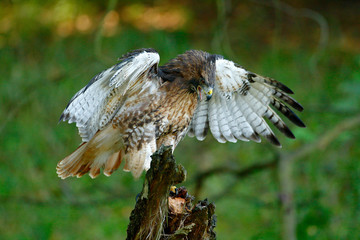 Red-tailed Hawk, Buteo jamaicensis, bird of prey portrait with open bill with blurred habitat in background, green forest, USA. Wildlife scene from nature. Green wood with hawk.