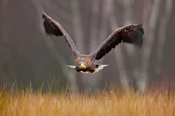White-tailed Eagle, Haliaeetus albicilla, face flight, bird of prey with forest in background. Animal in the nature habitat, Norway. Wildlife scene from nature. Eagle fly above the forest meadow.