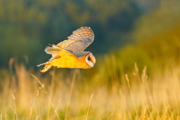 Hunting Barn Owl in morning nice light. Wildlife scene from wild nature. Morning light image with owl. Flying bird above the meadow, United Kingdom. Wildlife scene from nature. Bird in habitat.