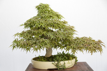 Acer palmatum arakawa hinoki bonsai on a wooden table and white background