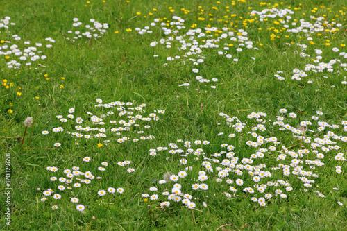 Meadow flowers white and yellow flowers growing on field many meadow flowers white and yellow flowers growing on field many small chamomiles on lawn mightylinksfo