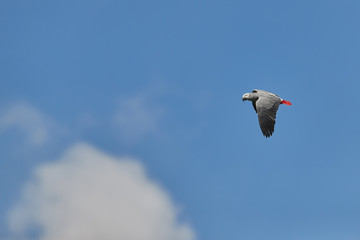 African grey parrot, Psittacus erithacus, medium parrot, isolated bird flying with outstretched wings aginst blue sky. Congo, Africa.