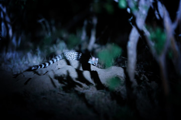 Night photo of Common genet, Genetta genetta, small carnivoran indigenous to Africa in its natural environment.