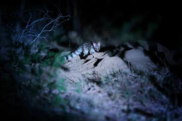 Night photo of Common genet, Genetta genetta, small carnivoran indigenous to Africa in its natural environment.