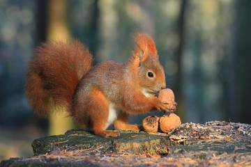 A squirrel sitting in a beautiful Autumn surrounding and holding a walnut in its little paws