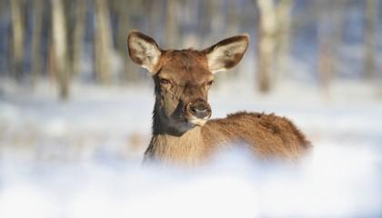 portrait of a doe in a winter landscape. Doe in nature habitat.Cervus elaphus.