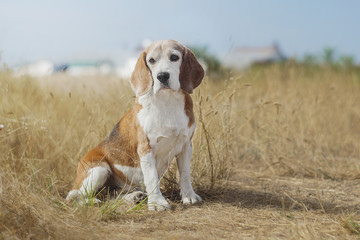 beauty beagle portrait