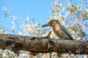 Kingfisher Blue-winged Kookaburra sitting on a gum tree branch at Katherine Gorge, Northern Territory, Australia.