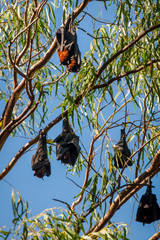 Some Bats in an eucalyptus tree at Katherine Gorge, Northern Territory, Australia.