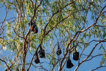 A group of Bats in a gum tree at Katherine Gorge, Nitmiluk National Park, Northern Territory, Australia.