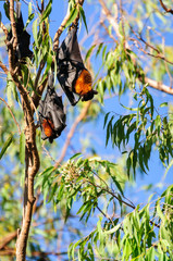Bats in a gum tree at Katherine Gorge, Nitmiluk National Park, Northern Territory, Australia.