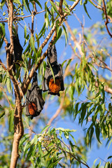 A group of Bats hanging in a gum tree at Katherine Gorge, Nitmiluk National Park, Northern Territory, Australia.
