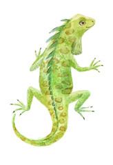 iguana watercolor vector illustration