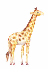 giraffe watercolor vector illustration