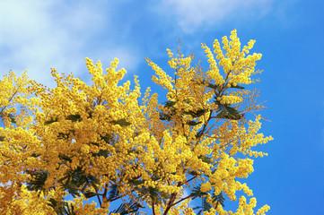 Springtime. Branches of flowering Acacia dealbata (mimosa) against  blue sky