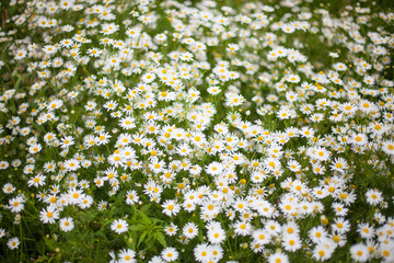 camomile or ox-eye daisy meadow top view