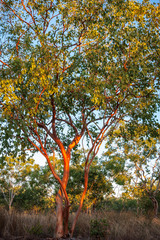 Australian red gum trees sunlit at golden hour, with the bark peeled in spring revealing a smooth reddish skin at Katherine, Northern Territory, Australia.
