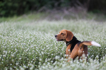 A cute beagle dog  in the wild flowers field.