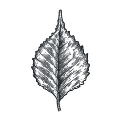 Engraving Birch Leaf isolated on white background.