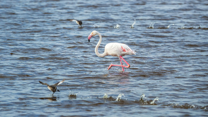 flamingo wading in the water