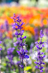 Salvia or sage flowers in the park on a colorful background