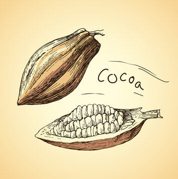 hand drawn vector cocoa beans. Chocolate cocao beans.