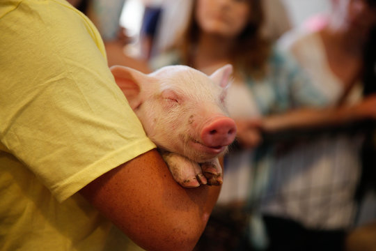 Baby pig at the Minnesota State Fair