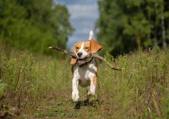 Beagle dog running around and playing with a stick