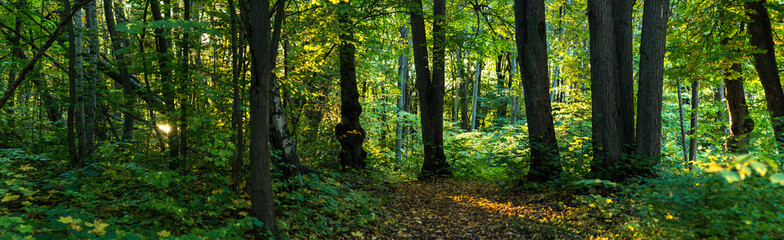Panorama of a green forest with light rays