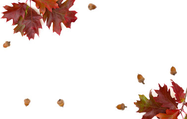 Beautiful autumnal red oak leaves and acorn on white background with space for text. Quercus rubra, called northern red oak, or champion oak, or Quercus borealis. Top view, flat lay.