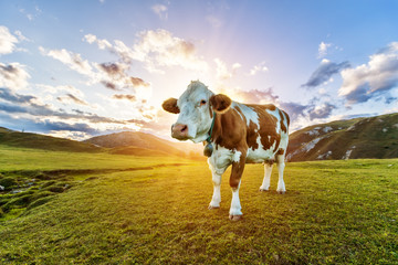 Beautiful sunset Alpine landscape with cow on background