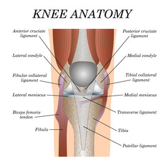 Anatomy of the knee joint front view, template for training a medical surgical poster, traumatology page. Vector illustration.