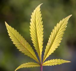 Single cannabis leaf - medical marijuana concept background