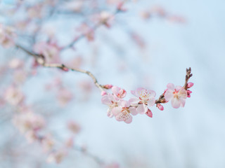 Close. Blossom spring tree and branch.